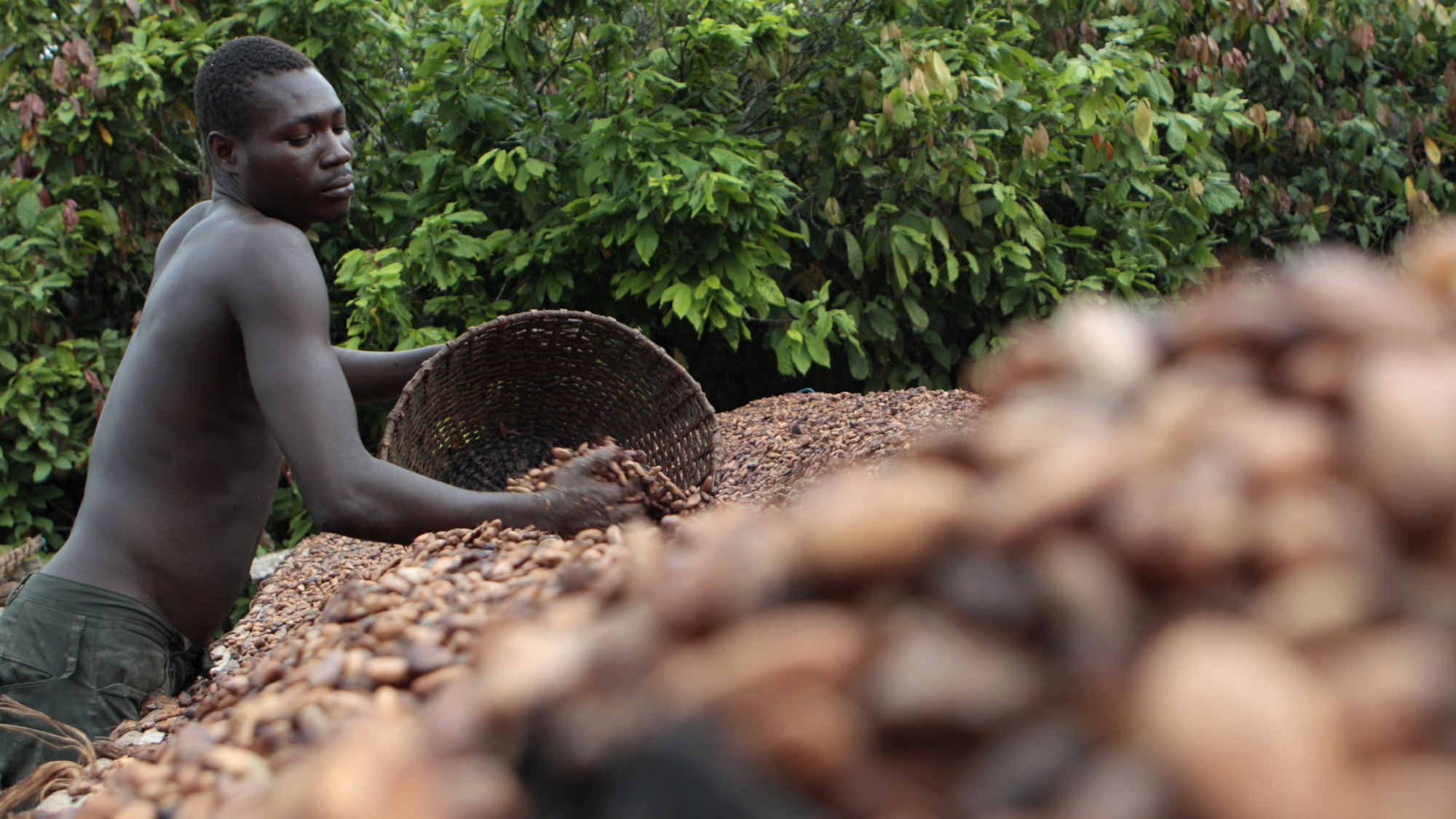 Image result for cocoa in ivory coast