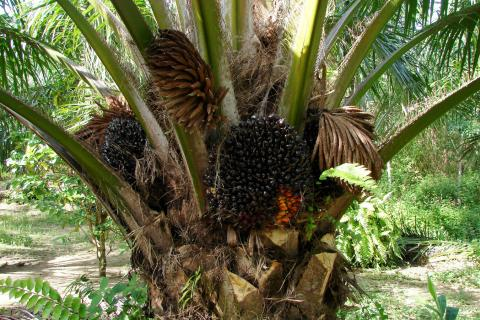 palm oil thailand