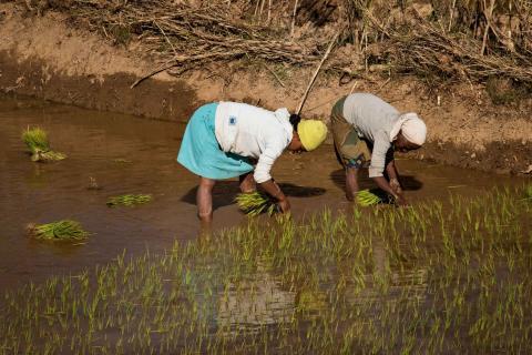 madagascar rice fields