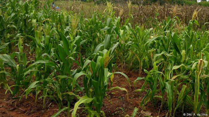 Foto ilustrativa: Campo de milho em Moçambique
