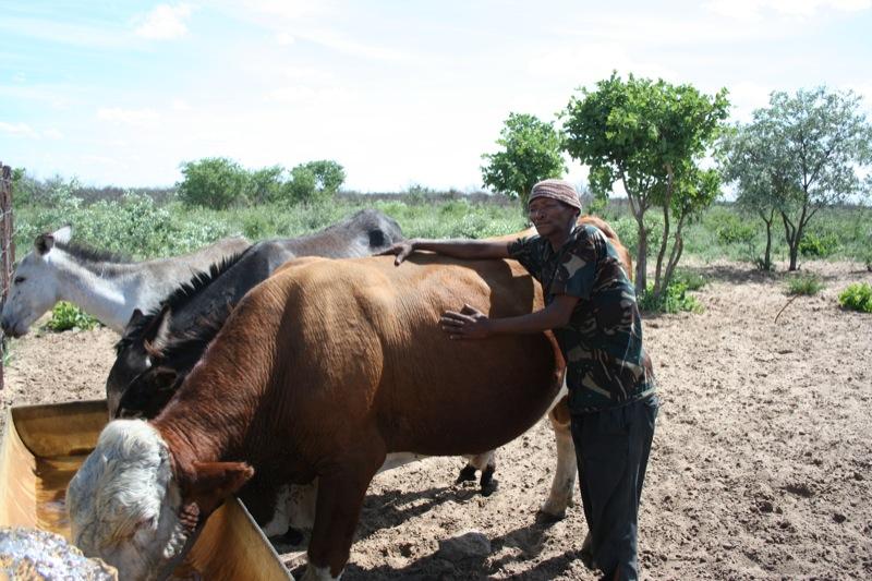 Basarwa man herding Rebecca Kahn CC BY-SA 2.0