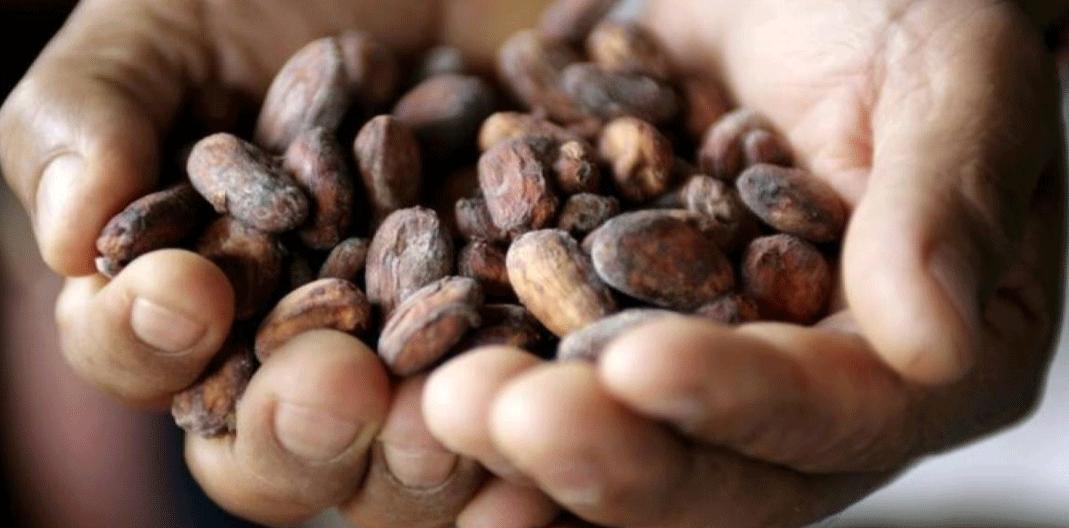 In this 2009 file photo a Peruvian cocoa farmer shows grains of cacao in Tarapoto, Peru. REUTERS/Mariana Bazo