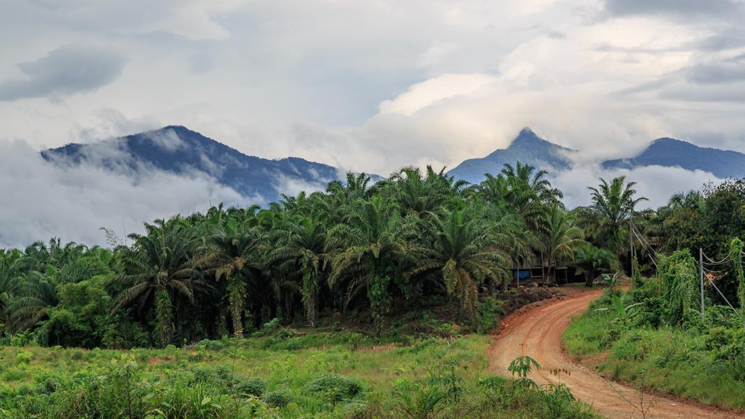 CEphoto, Uwe Aranas, Telupid Sabah Oilpalm-Plantation-along-Buis-Kiabau-Road-01