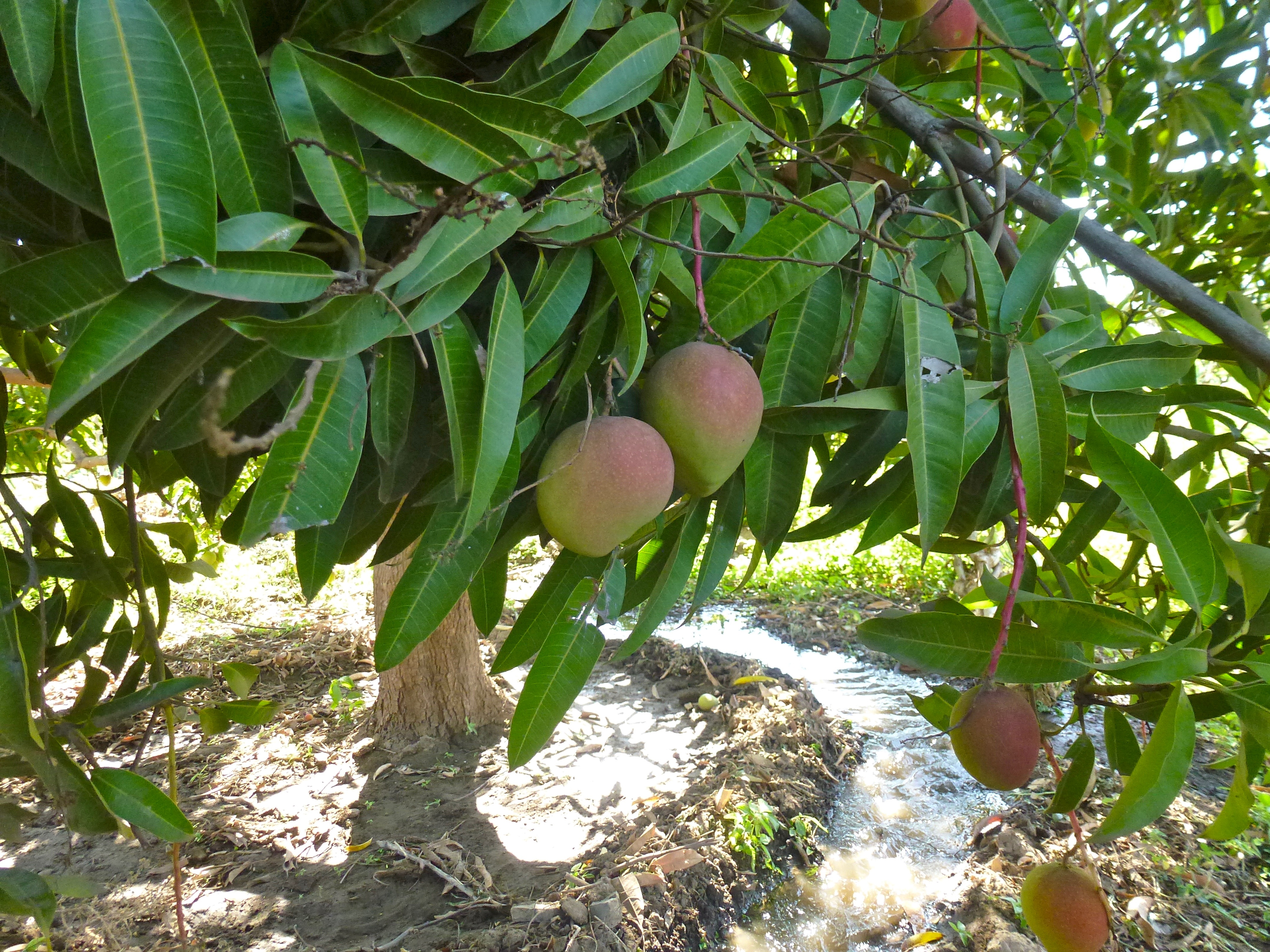 Photo: Mango trees growing in the agricultural zone of the Ranch