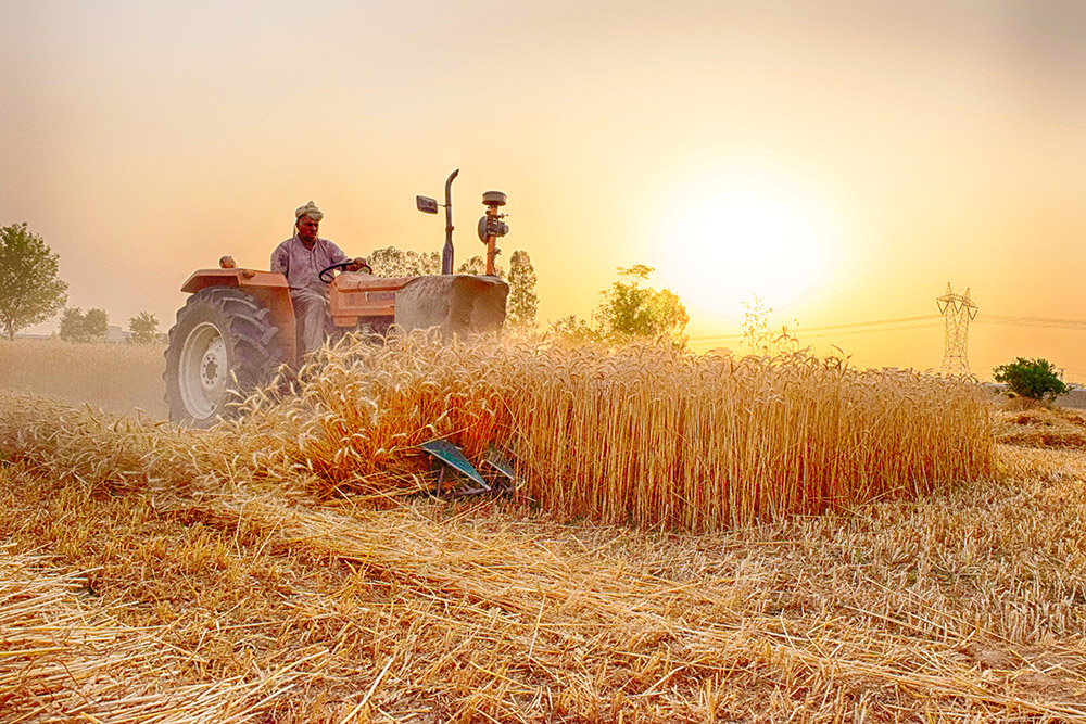 Wheat Crop, E Canal Rd, Faisalabad, Pakistan, photo by Paarase Usman, Wikimedia Commons license