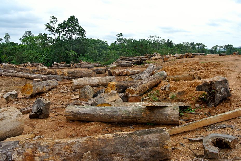 Logging on pineapple plantation - Rettet den Regenwald e.V. (Rainforest Rescue), 2017