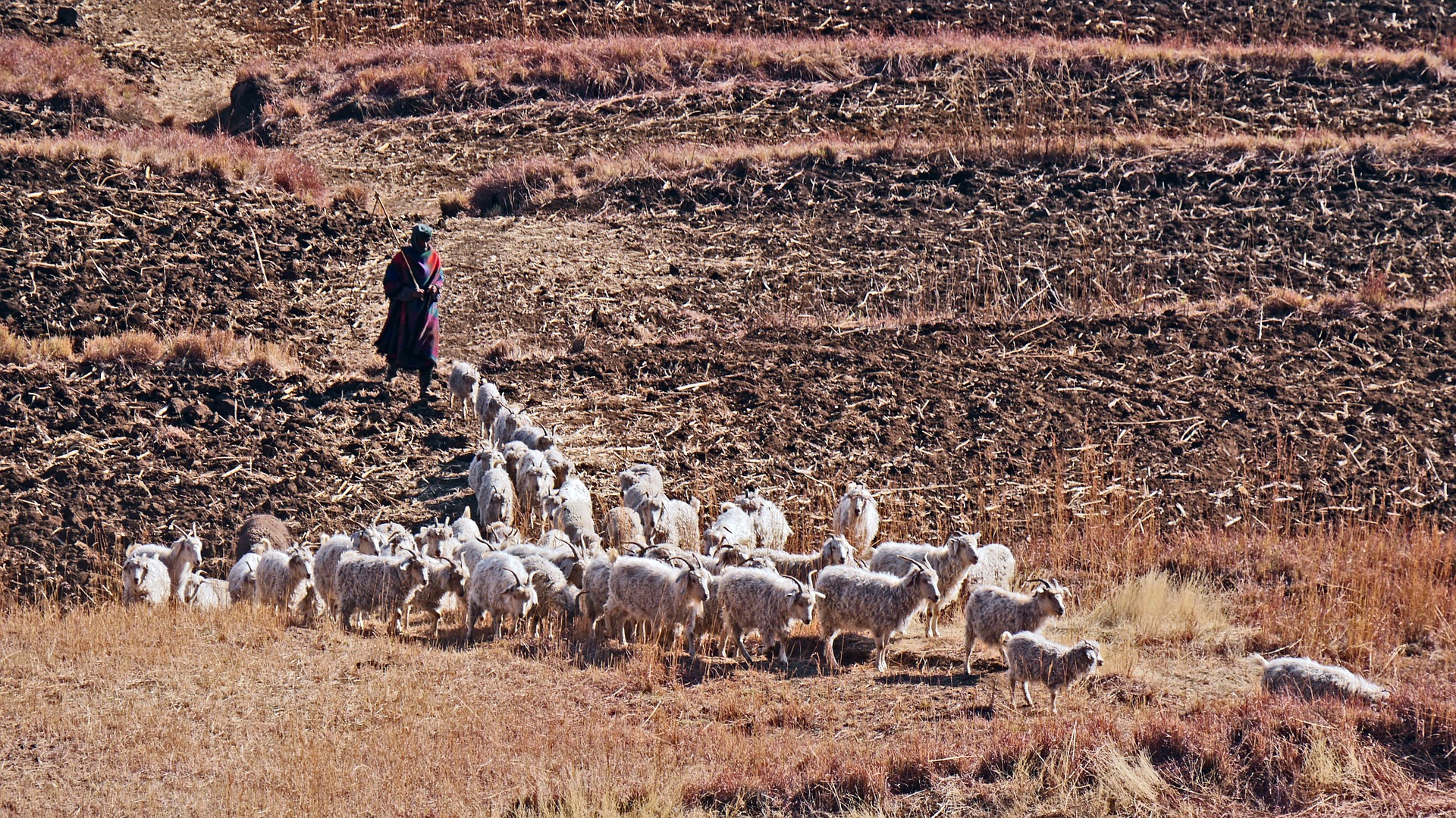 Lesotho goats, by H. Beisner, originally published in Pixabay CC0 Photo