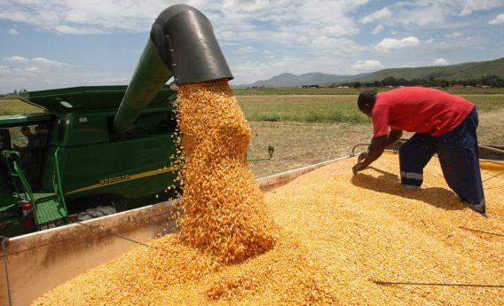 Resultado de imagem para produção de milho,