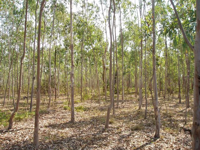 Figure 7: Eucalyptus plantation in Lao PDR (by Chris Lang)