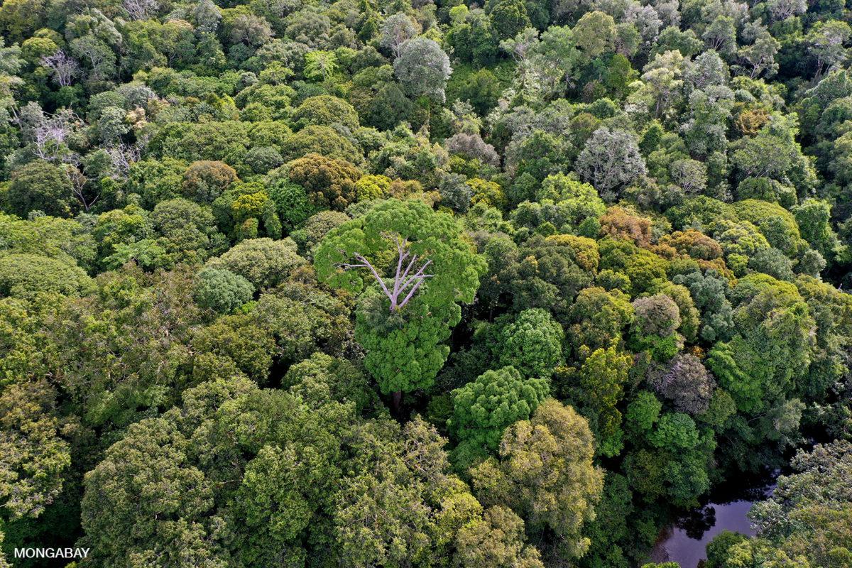 La selva tropical Sungai Utik, en Indonesia occidental. Imagen: Rhett A. Butler/Mongabay.