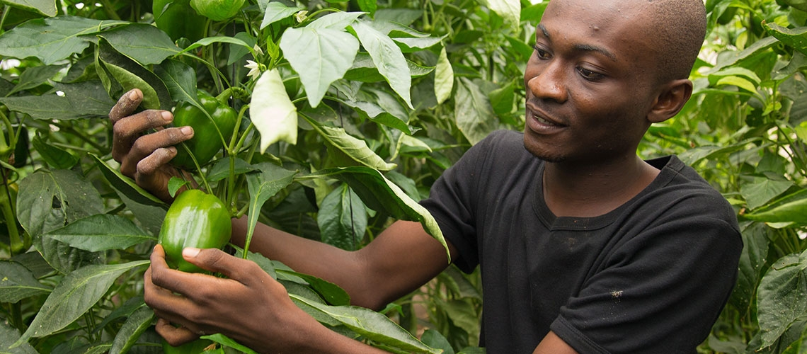 Through a World Bank-supported grant, Emmanuel Boamah Okyere, 24, was trained in greenhouse trellising, an agriculture technique which minimizes the risk of pests and disease, and provides a way to grow food without much land.