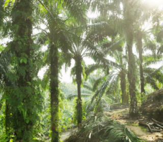 Agribusiness giants ADM, Bunge trading in 'conflict' palm oil, report says