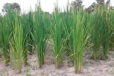 campagne-agricole-office-niger-champ-bassin-barrage-eau-fleuve-niger-mais-mil-riz.jpg