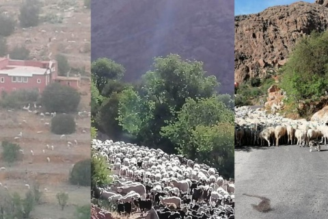 maroc paturage