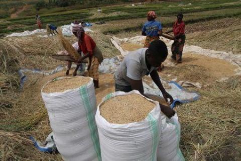 2901-63611-rwanda-le-gouvernement-reduit-le-prix-garanti-du-riz-pour-les-producteurs_M.jpg
