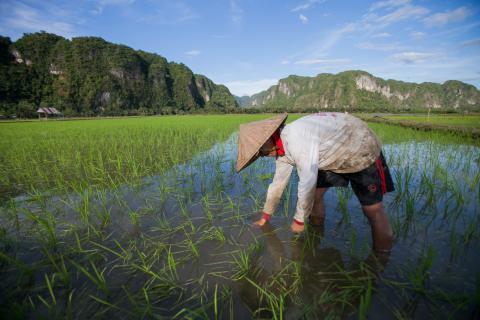 Indonesia rice plantation