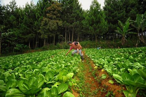 Cabbage plantation areas on the slope of mount Gede Pangrango Sukabumi, West Java, Indonesia.   Photo by Ricky Martin/CIFOR