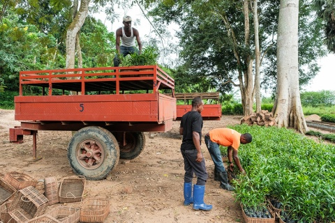 Acacia trees being planted in Yangambi - DRC.     Photo by Axel Fassio/CIFOR