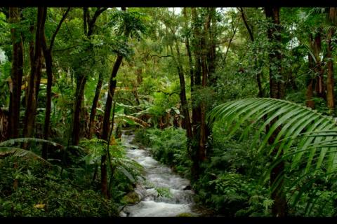 752929331-hilo-eucalyptus-foret-tropicale-vegetation-luxuriante.jpg