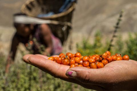 Handful of sea-buckthorns harvested in the mountains of Nepal. Asian Development Bank