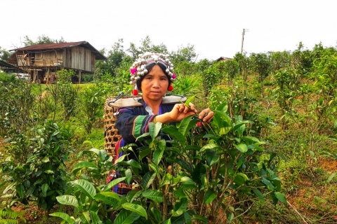 Bokeo Tea Farmer