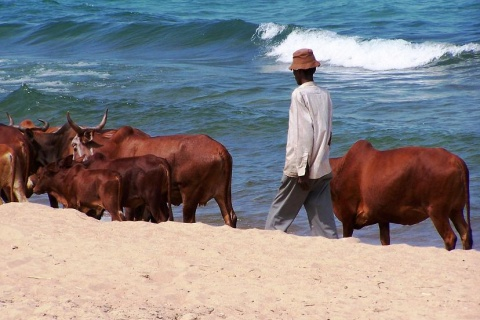 Cattle Lake Malawi Geof Wilso CC BY-NC-ND 2.0