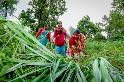 Lemongrass harvested from the Chisapani Community Forest will be distilled into essential oil and sold. The income made goes back to the community user group.    Photo by Chandra Shekhar Karki/CIFOR
