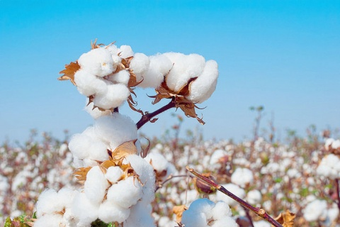 Production-coton-Ouzbekistan_0_729_488.jpg