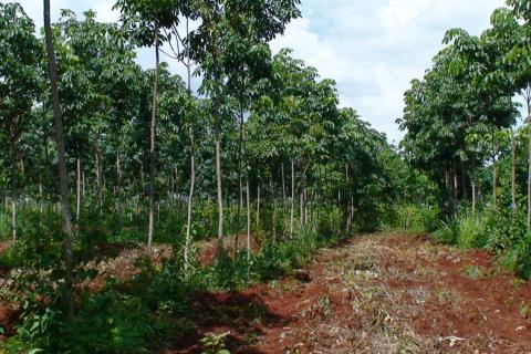 Rubber Plantation in Ratanakiri Cambodia