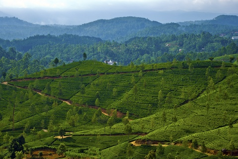 Tea plantations in Sri Lanka in 2013, photo by Kosala Bandara, Creative Commons Attribution 2.0 Generic license