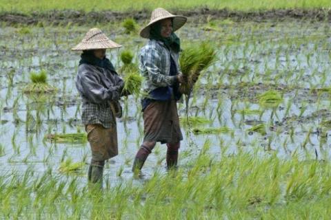 i24news@crédits/photos : YE AUNG THU (AFP/ARCHIVES) Des femmes travaillent dans une rizière
