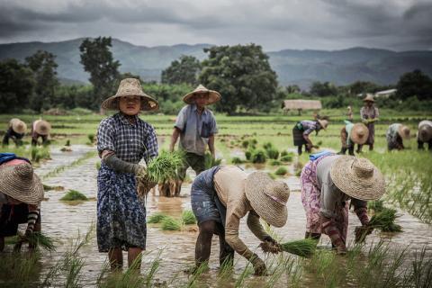Burmese paddy field