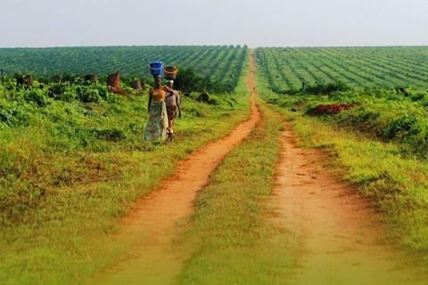 Plantation de palmiers à huile Feronia Yaligimba en RDC. Photo: Feronia
