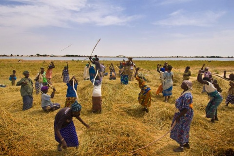 mali-agriculture-riz_0.jpg