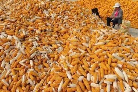 production-de-maïs-en-Afrique-du-Sud.jpg