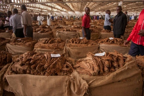 A Malawi tobacco auction of yesteryear. AFP/File/AMOS GUMULIRA