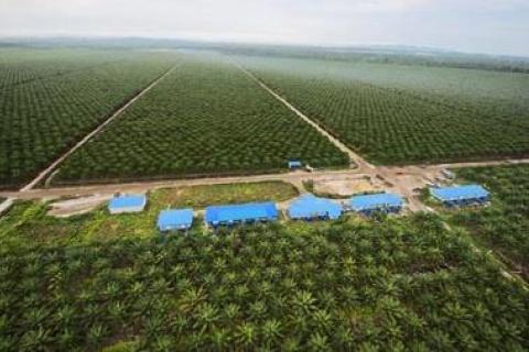 Oil Palm Plantation, Sarawak, Malaysia