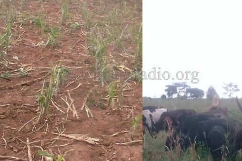 A herd of cattle after destroying a local resident's maize plantation